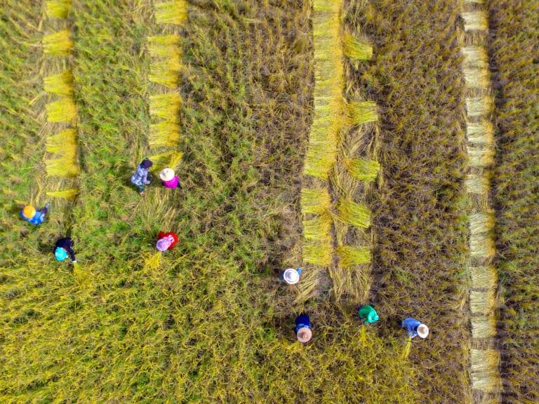 Eerlijk eten - Picture of Asian farmer using sickle to harvest in farmland.